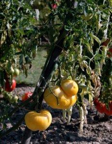 fete de tomate 13 9-13-2009 11-17-37 AM