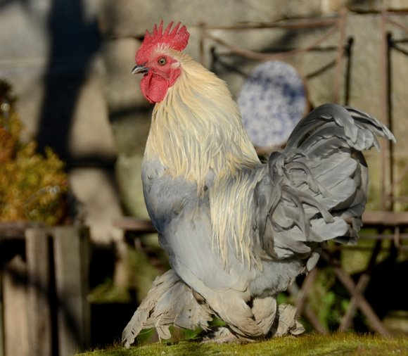 chickens porcelaine 04-01-2013 15-23-39 3273x2853