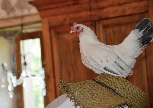 one cray chicken 06-06-2013 09-18-46 4522x3198