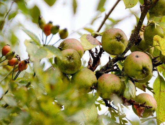 wild apples 04-10-2013 13-39-08 3994x3030