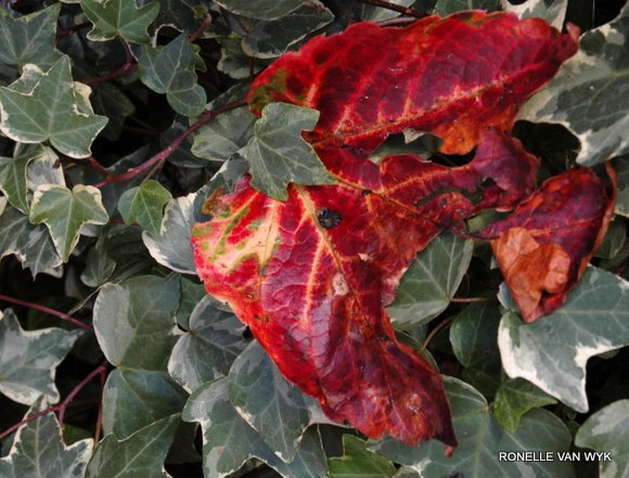 Ronelle's photography - autumn color red