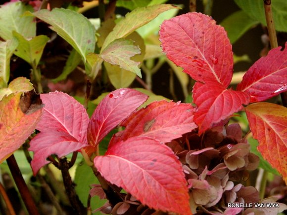 ronelle's photography - autumn reds