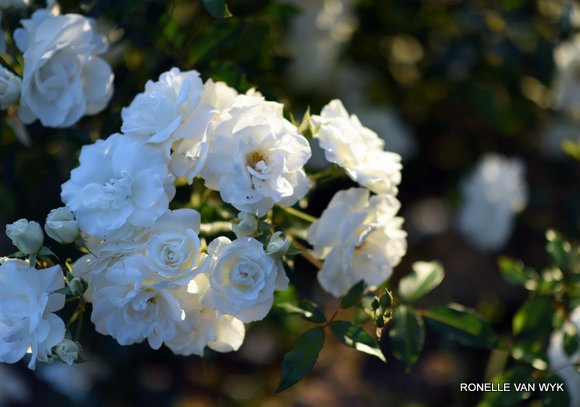 Iceberg roses