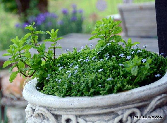 Pratia angulata(blue star creeper)