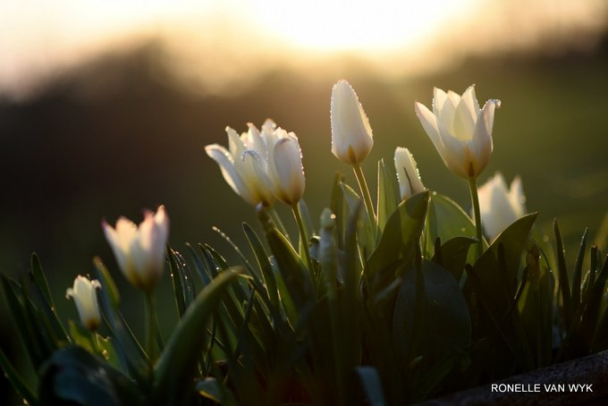 tulips at dusk